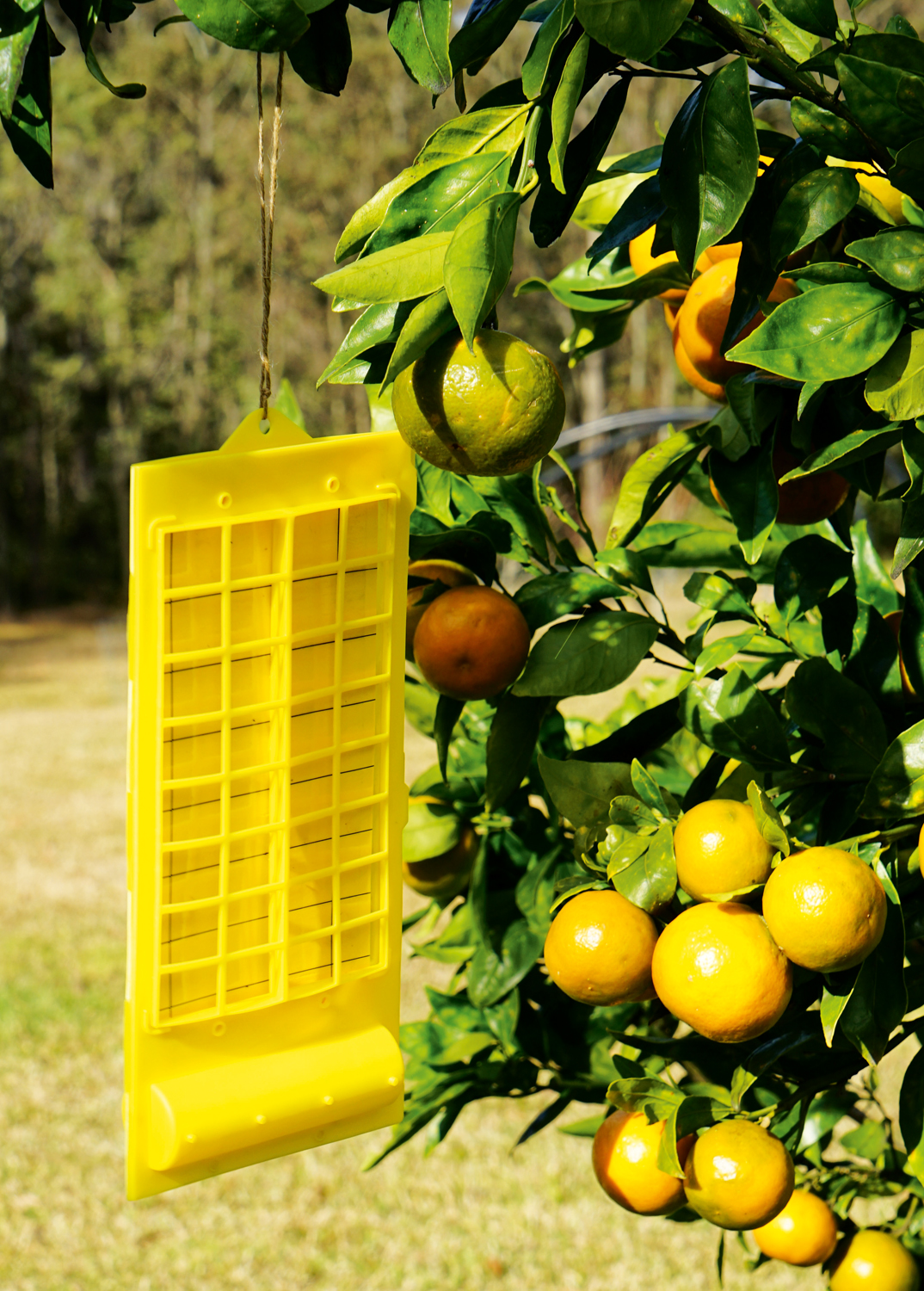 Fruit fly traps help control fruit fly - Kerry