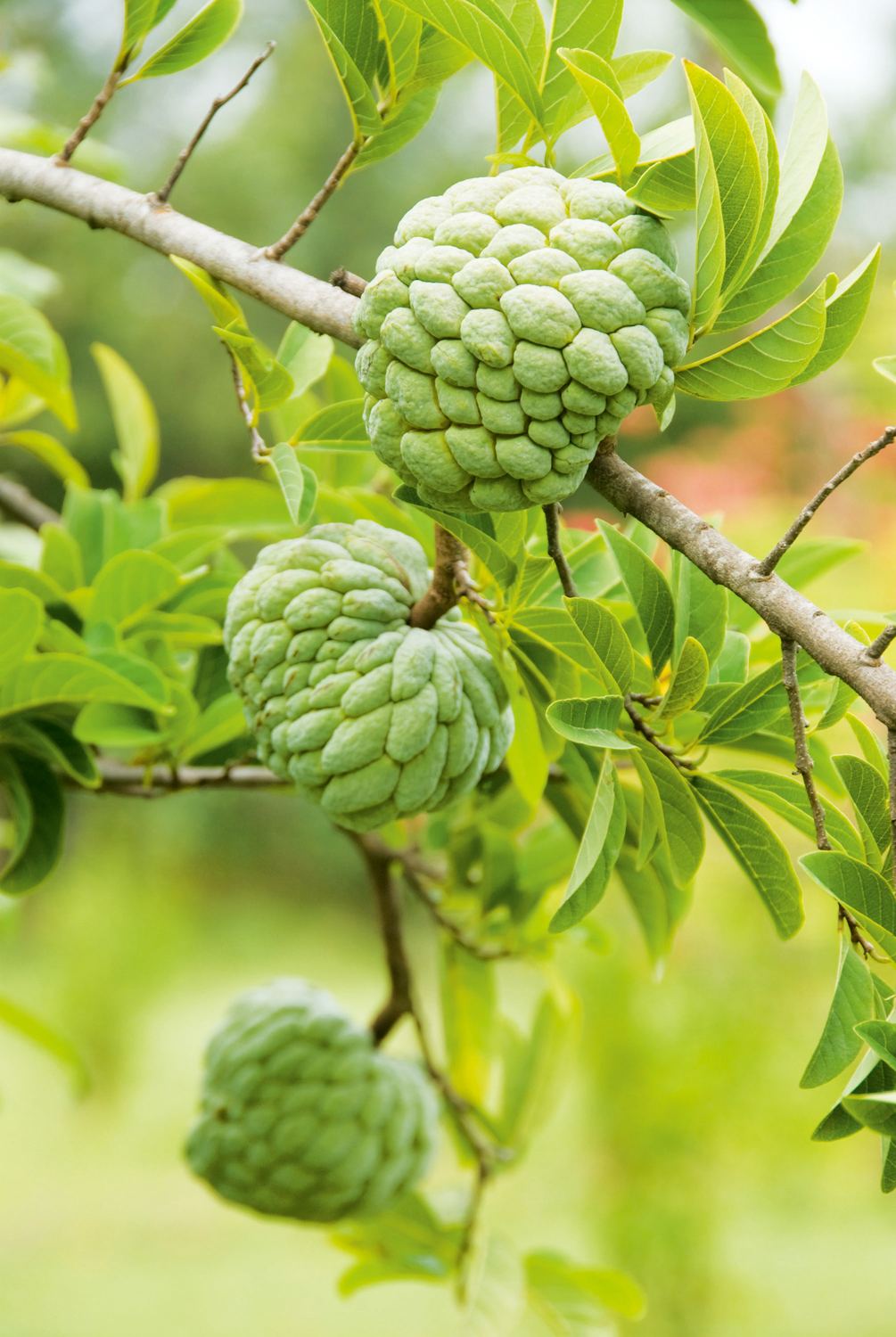 Harvest time for custard apples canstockphoto2874863