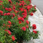 If your driveway has a dying lawn lying alongside, cover it in something bullet-proof-but-lovely like these Flower Carpet Scarlet roses.