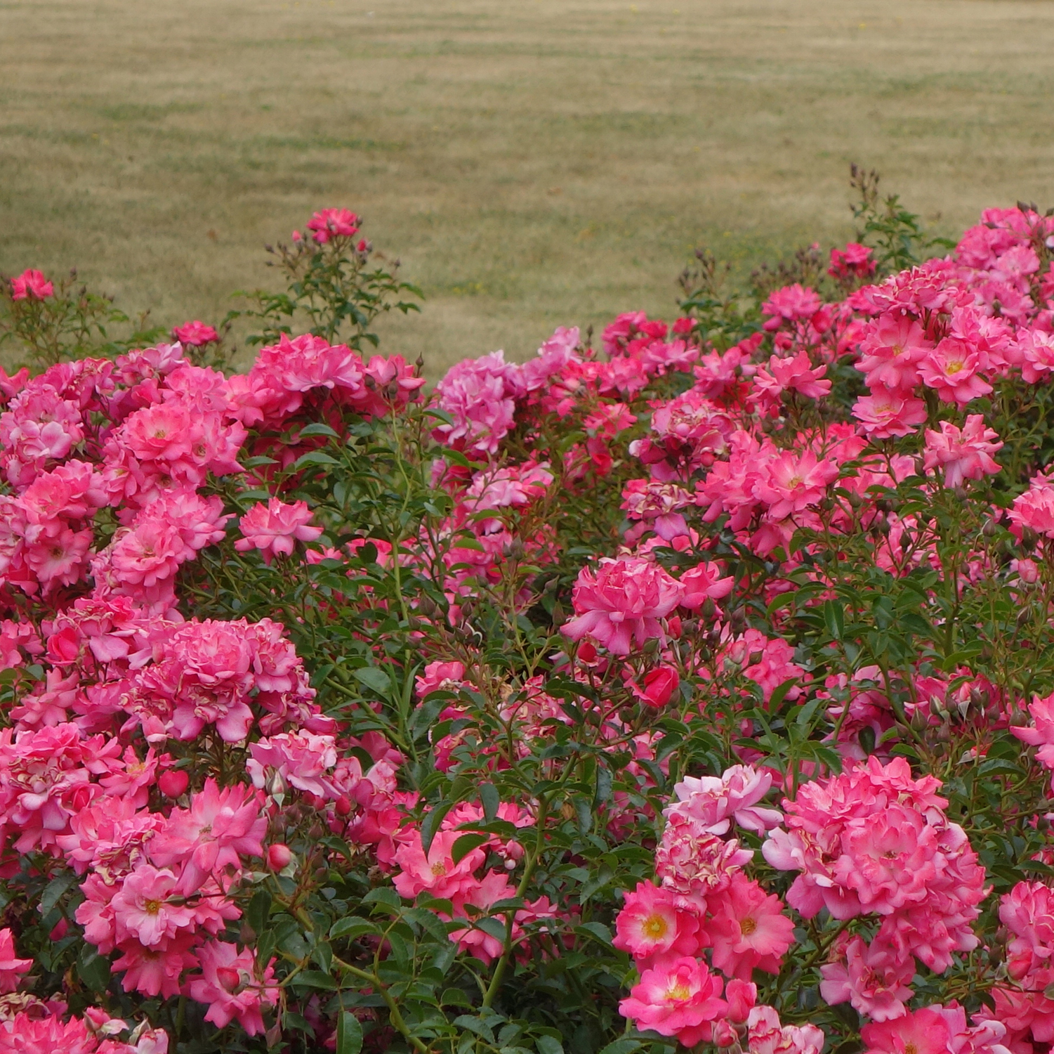 Take a look at this brutal comparison. This lawn isn't dead yet, but it still shows why replacing it with lovely plants (these are Flower Carpet Pink Supreme roses) makes sense.