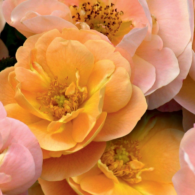 Flower Carpet Amber heroHR