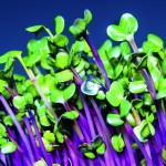 """""""Fast food"""": Secrets of sprouting"""