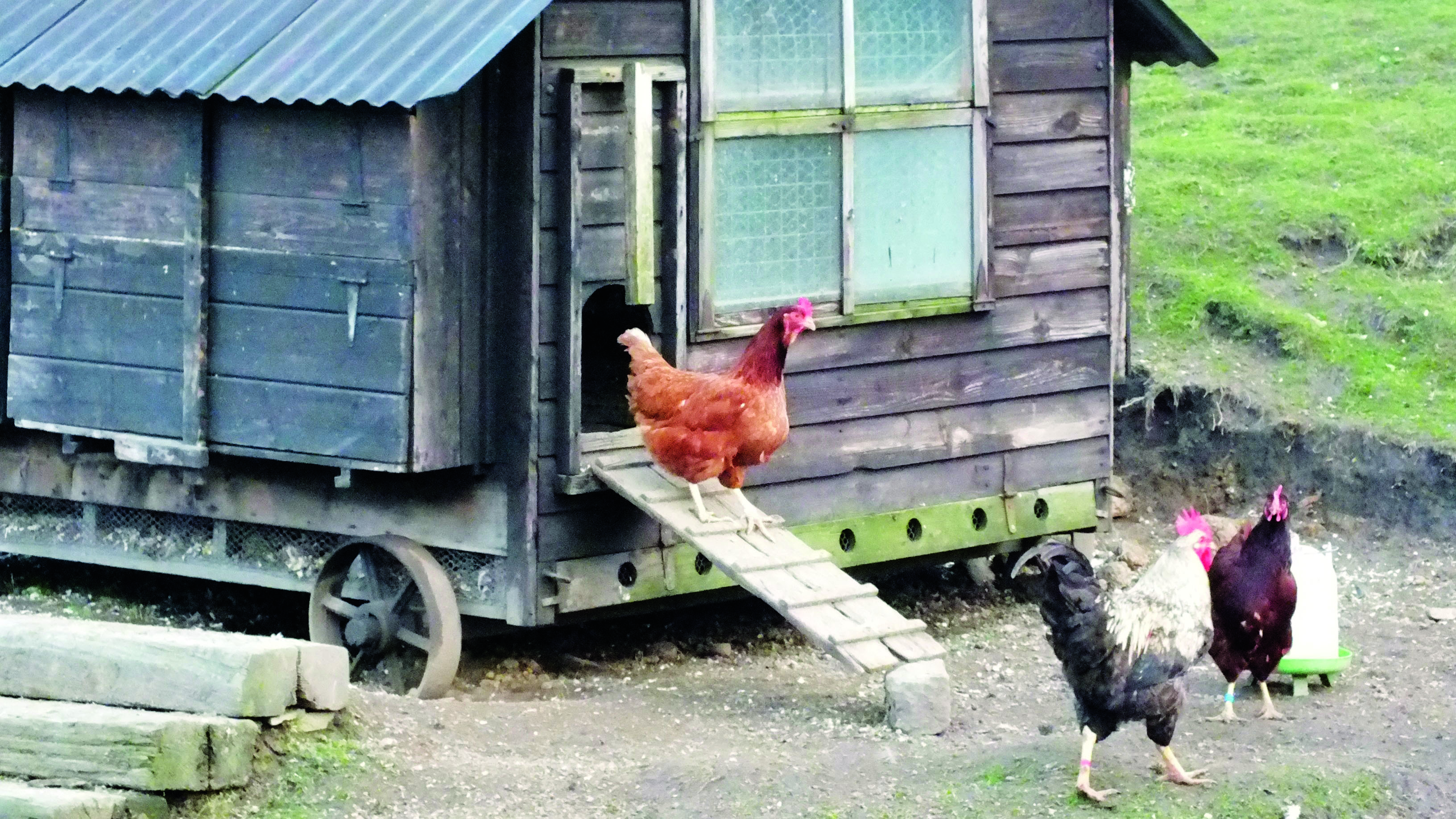 Choosing the right home for your chickens - innovative mobile home henhouse design