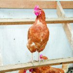 Choosing the right henhouse for your chickens