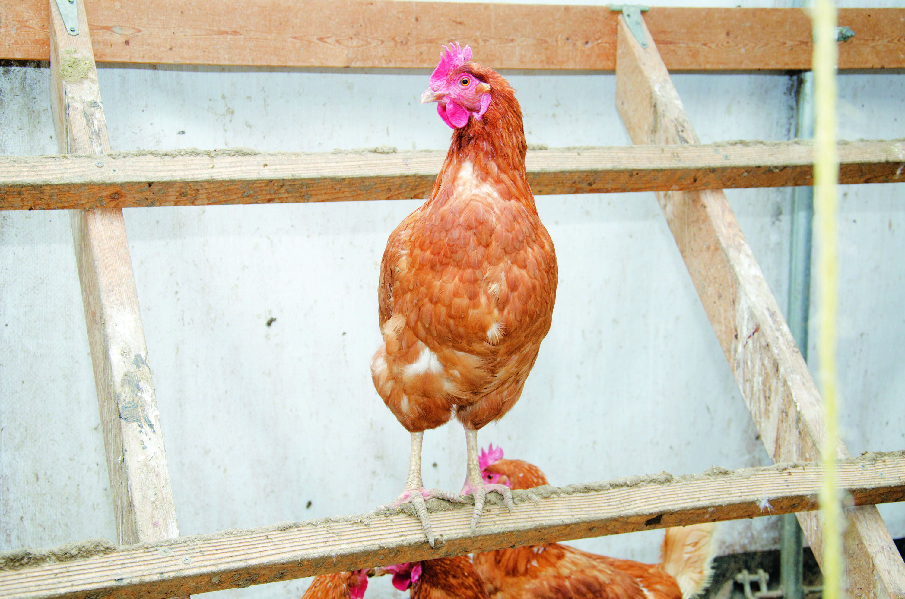 Choosing the right home for your chickens - perch for henhouse