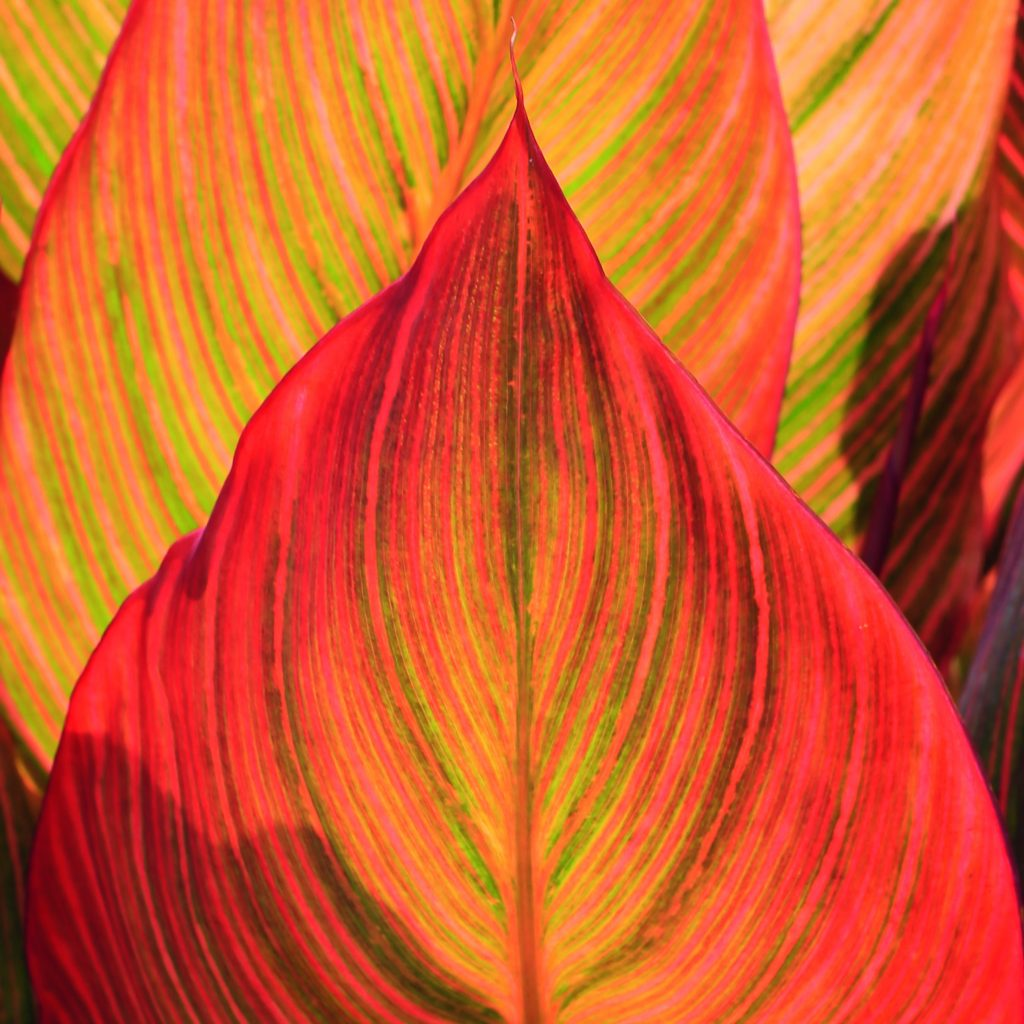 Seeing red: incorporating colour into your garden - Canna Tropicanna