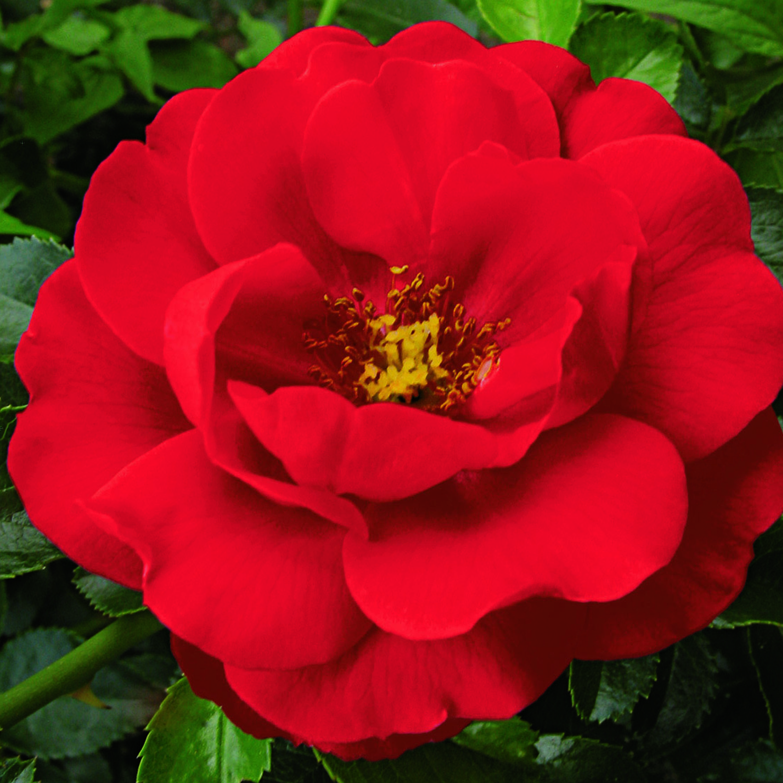 Seeing red: incorporating colour into your garden - Flower carpet Scarlet