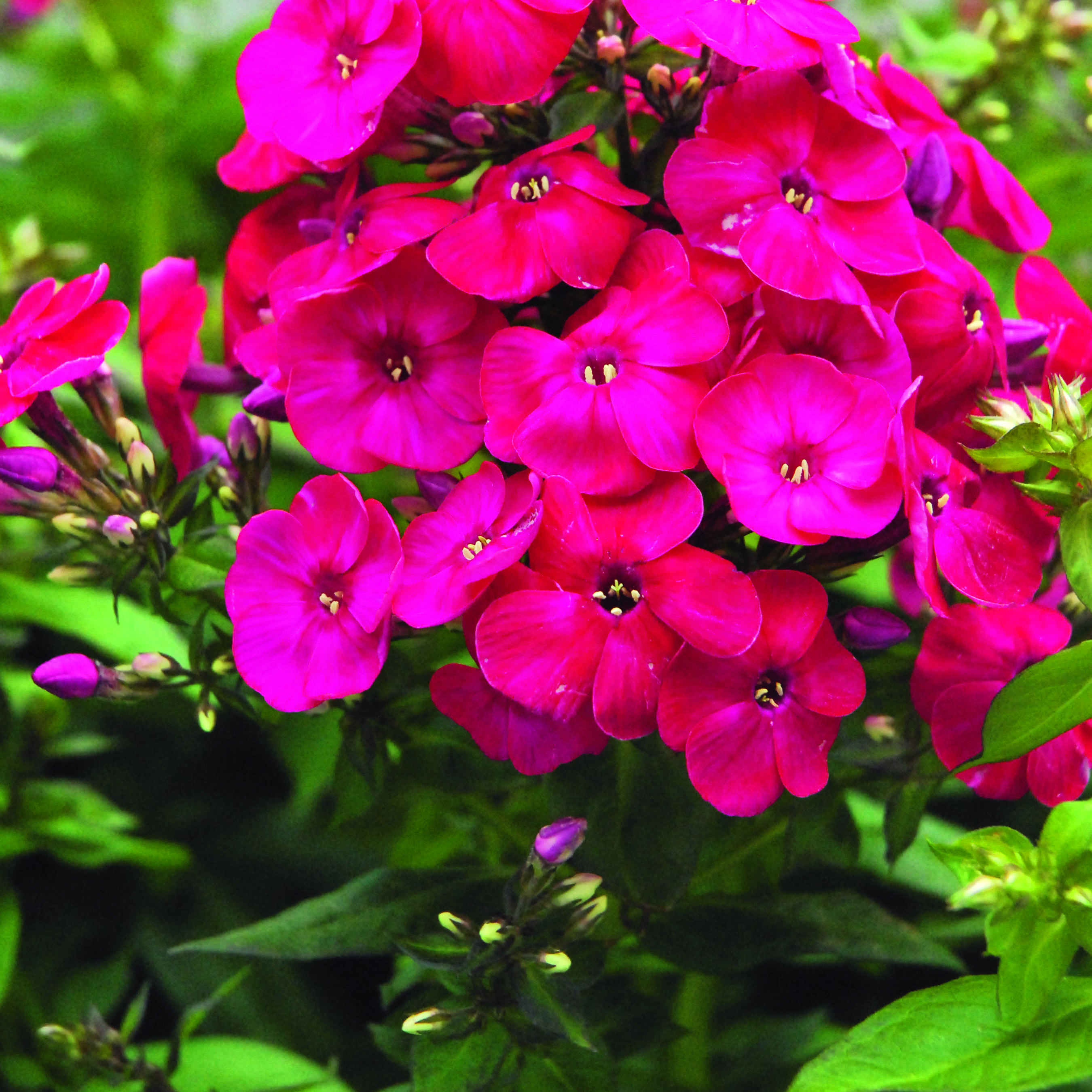 Seeing red: incorporating colour into your garden - Volcano Phlox (red)