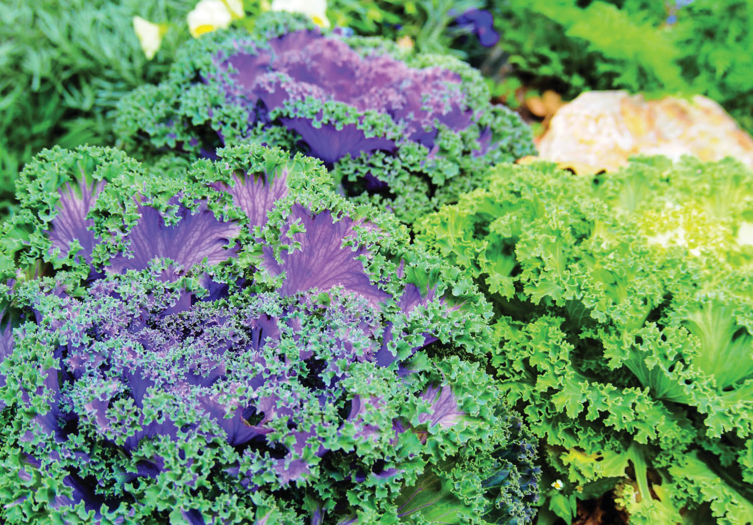 All Hail Kale: Good Organic Gardening - Decorative Kale