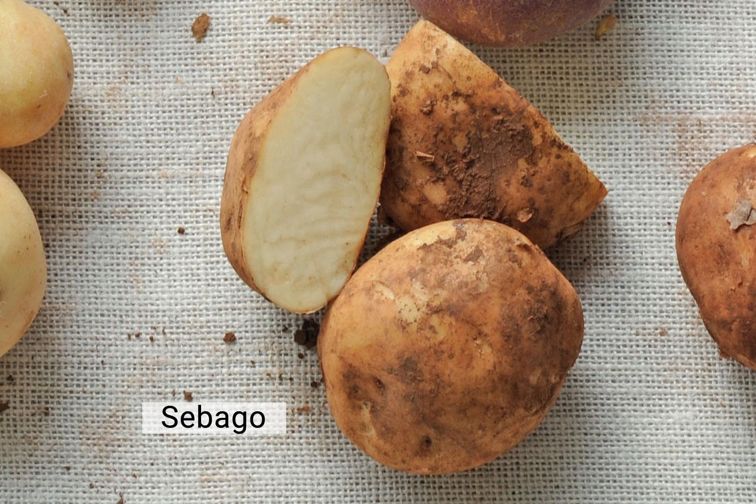 Sebago potato