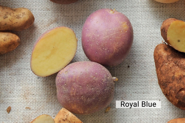 Royal Blue potato