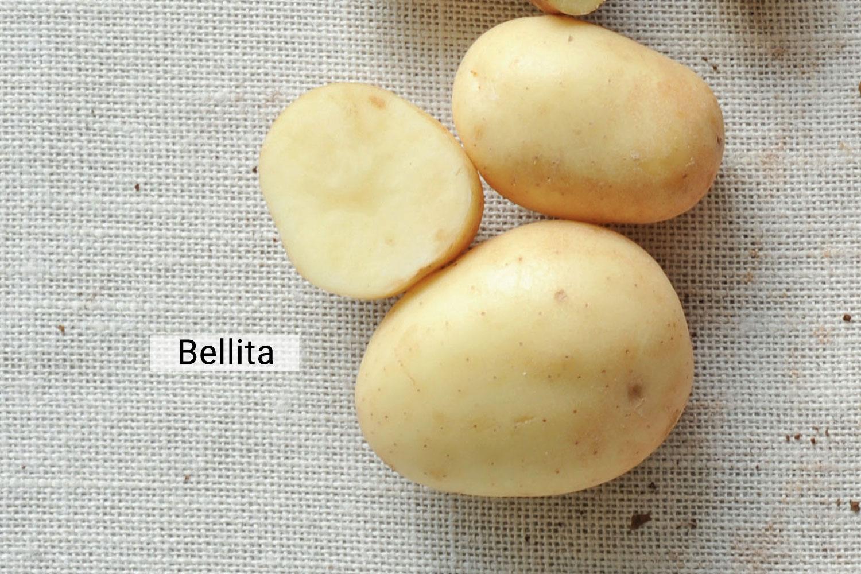 Bellita potato