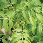 Curry leaves: spice up your garden