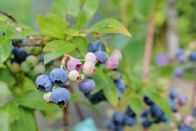 bilberry-american-1581992