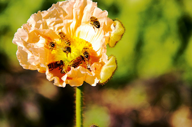 The Bees Adore Poppies 2