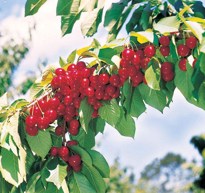 Cherry Stella1