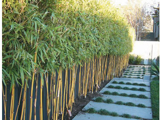 Red cloud bamboo project ods for Landscape design jobs adelaide