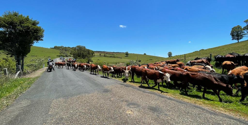 Comboyne Cows IMG_6851