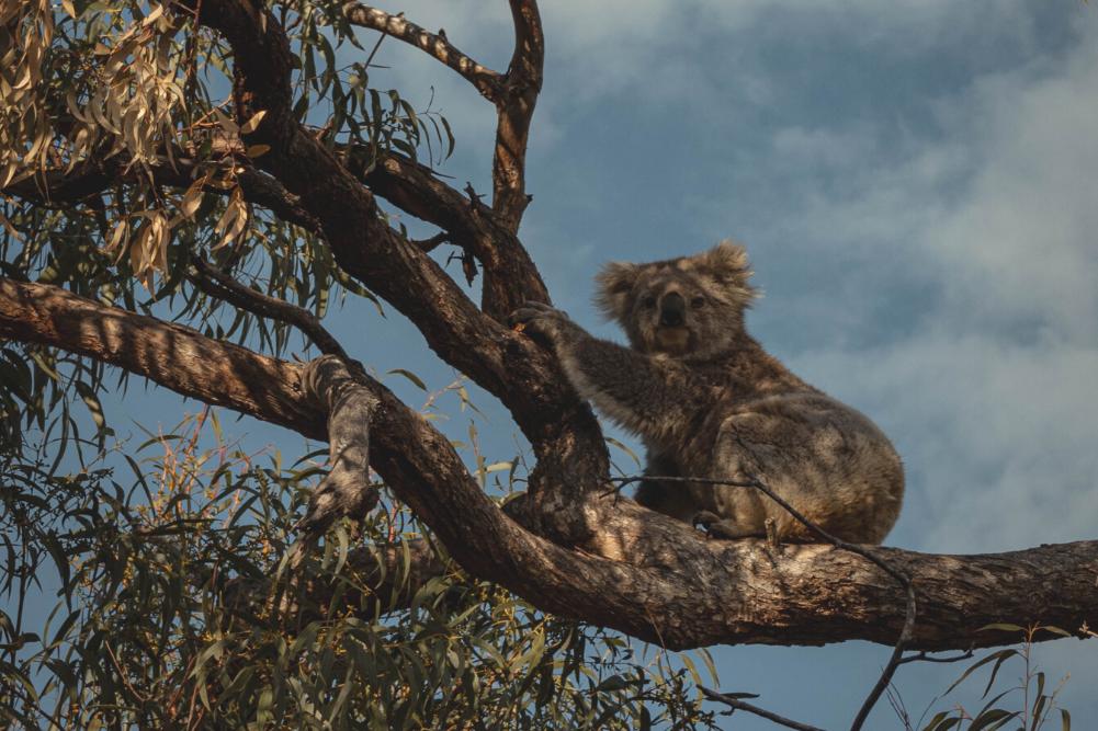 Rewilding Australia