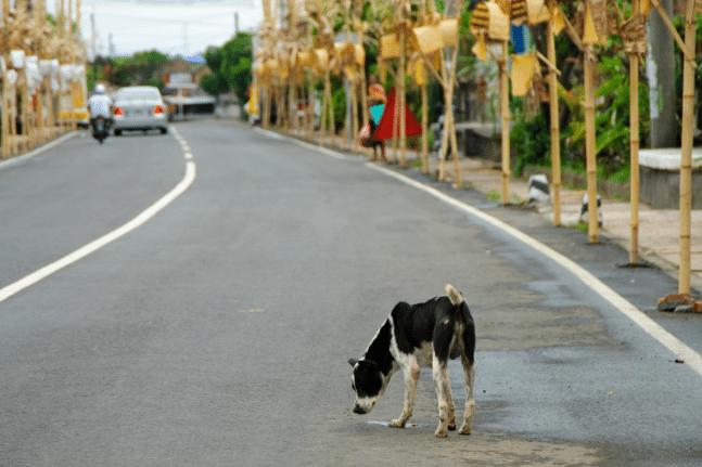 Bali street dog