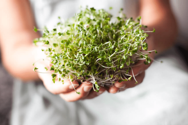 Broccoli sprouts in hands