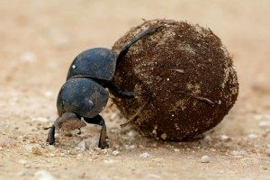 23418573 - flighless dung beetle rolling ball of dung for breeding