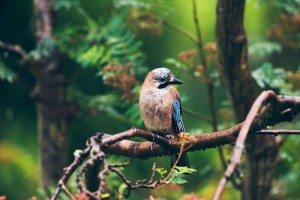 Eurasian Jay perched on a branch in the rain