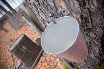 Maple_syrup_harvest