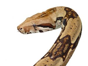 dreams about snakes: to dream of snakes