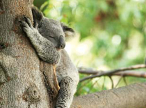 koala_bear_wellbeing
