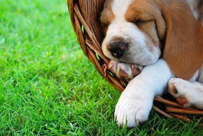bigstock_Relaxing_Beagle_pu