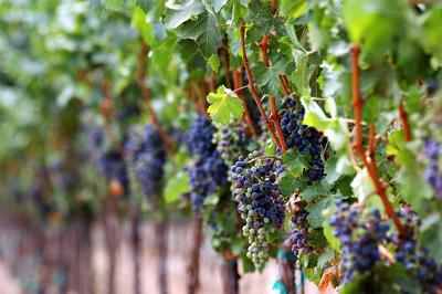 bigstock_Grapes_In_The_Vine