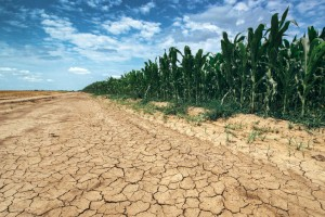dry land with corn crop growing