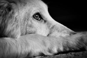 dog animal scared thunder cocker spaniel pup looking very sad