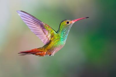 Hummingbird , Rufous-tailed