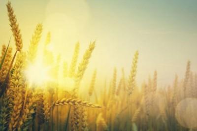 nitrogen, sunshine on a field of wheat