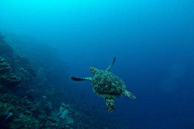 turtle sea ocean reef coral beauty planet