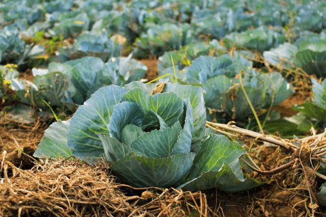 garden veg vegetable cabbage