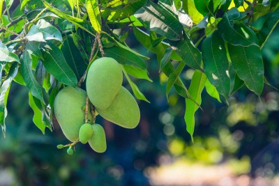 Close up of green mango hanging from a tree