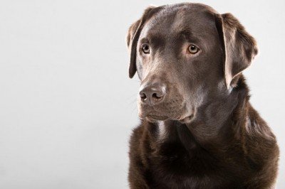 Chocolate Labrador Looking Alert