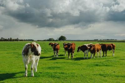 Cows Grazing on green grass