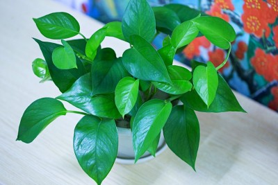 Ivy house plant in a home
