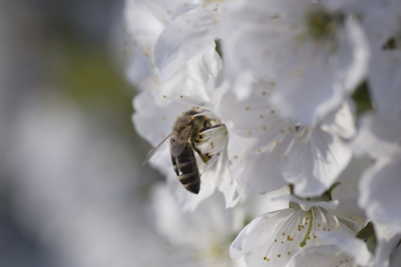 a species of bees on a white apple blossom