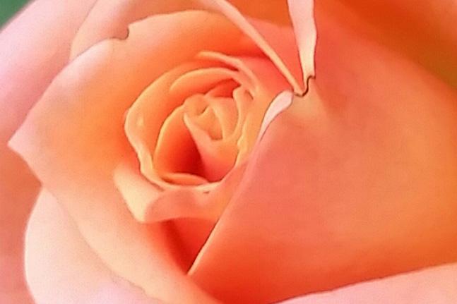 gratitude and appreciation orange rose