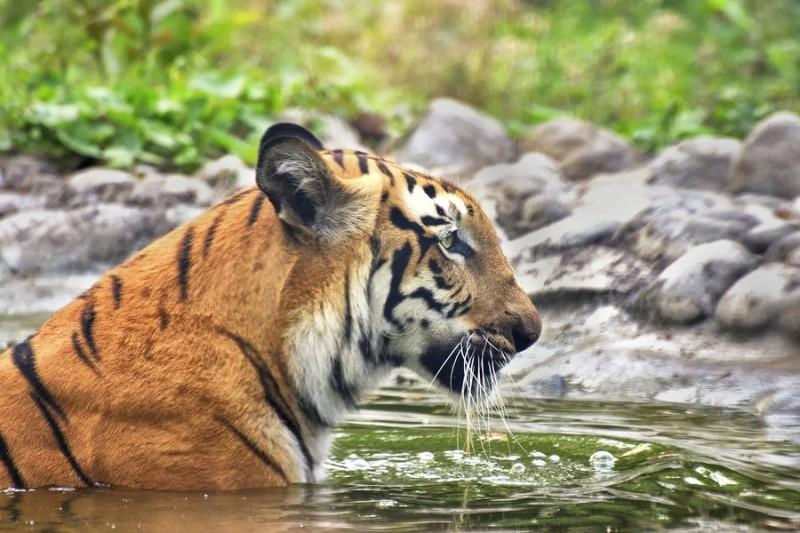 Bengal tiger bathing in water