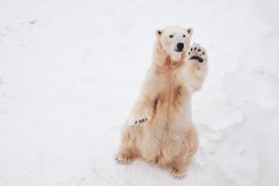 Would you join Canada's world-first polar bear walking safari?