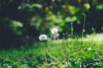 Discover the healing power of dandelion roots and flowers