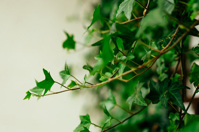 Discover how the common ivy leaf can help with respiratory conditions