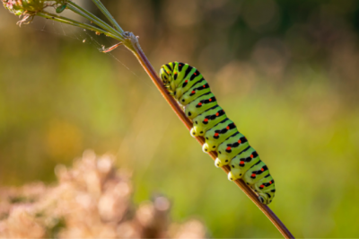 Hungry Caterpillars, Covid 19 And Wildlife And More In Current Eco-News