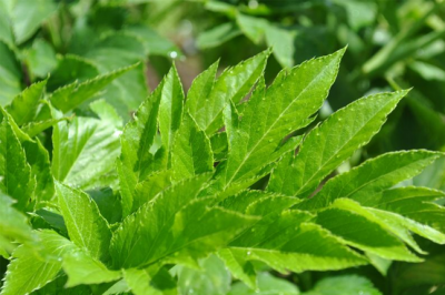 Ashitaba and how it can bring you some health benefits